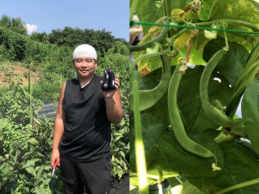 茄子とインゲンの収穫