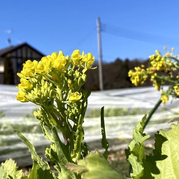 野菜 は 菜の花 と の 同じ アブラナ 科